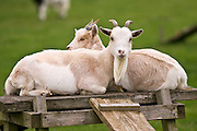 Free-range goats, Cotswolds, United Kingdom.