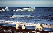 Alaska. Barrow. Polar Bear family ( Ursus maritmus) walking along the Arctic Ocean.