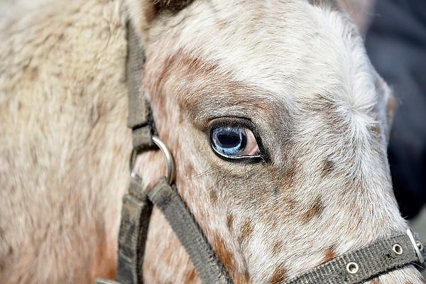 Nederland, Wijchen, 11-10-2014Paarenmarkt en boerenmarkt in Wijchen. Een paard met een blauw oog.FOTO: FLIP FRANSSEN/ HOLLANDSE HOOGTE