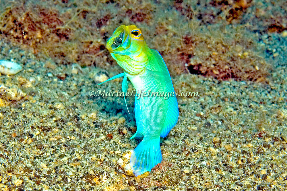 Bluebar Jawfish inhabit areas of sand and coral rubble, hover above burrows; known from St. Vincent & Tobago, males incubate eggs inside their mouth; picture taken St. Vincent.