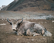 """A huge male yak at a high pasture. Guiding and photographing Paul Salopek while trekking with 2 donkeys across the """"Roof of the World"""", through the Afghan Pamir and Hindukush mountains, into Pakistan and the Karakoram mountains of the Greater Western Himalaya."""