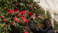 © Licensed to London News Pictures. 01/03/2020. LONDON, UK. A visitor views camellias on display at the annual Camellia Show taking place at Chiswick House and Gardens in west London.  Celebrating its 10th anniversary, the show is open until 22 March in the Grade1 listed Conservatory which houses 33 rare and historic varieties of camellia japonica, including the unique Middlemist's Red, brought over to the UK in 1804, and one of only two known to exist (the other is in New Zealand).  Photo credit: Stephen Chung/LNP