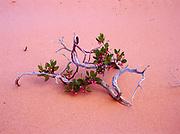 Wind-blasted  greenleaf manzanita, Arctostaphylos patula, surviving on sand dune in the Paria River, Vermilion Cliffs Wilderness, Vermilion Cliffs National Monument, Arizona.