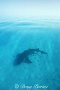 pregnant lemon shark, Negaprion brevirostris, swims through shallow sand flats on way to give birth in protected lagoon, Bimini, Bahamas ( Western Atlantic Ocean )