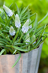 Muscari 'Valerie Finnis' in a metal container. Grape hyacinth