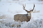 Mule deer buck (Odocoileus hemionus)on winter range in Wyoming