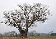 Single leafless oak tree in winter standing in field against grey overcast sky, Martlesham, Suffolk, England, UK