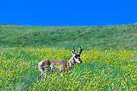 Pronghorn antelope in field of sweet clover, Custer State Park, Black Hills, South Dakota USA