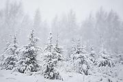 A stand of young spruces (Picea abies) in snowstorm, Vidzeme, Latvia Ⓒ Davis Ulands | davisulands.com