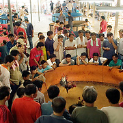 CHIANG MAI, THAILAND - FEB 26 2006: The matches are held in all manner of buildings, from shanty shacks to upscale arenas. In the larger venues, there are often several fights taking place at once, with the larger purse competitions taking place under stadium seating and a flurry of bets. Bird Flu caused the banning of cock fights in 2005, but a persistent movement of Thai's claiming the social significance of the sport and a reduction in Bird Flu cases has allowed the fights to resume. (Photo by Logan Mock-Bunting)