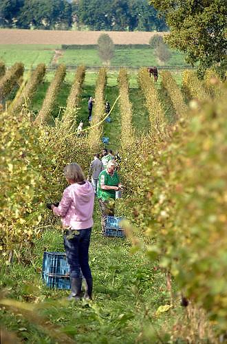 Nederland, Groesbeek, 19-10-2017Bij de biologische wijngaard de Colonjes zijn vrijwilligers bezig met het laatste deel van de druivenoogst van dit seizoen. Beschimmelde en aangetaste vruchten worden zoveel mogelijk weggeknipt. Kwaliteit gaat hier boven kwantiteit. Groesbeek afficheert zichzelf als het wijndorp van Nederland omdat er de jaarlijkse wijnfeesten zijn en verschillende boeren druiven verbouwen. Ook heeft het dorp sinds dit jaat het nationaal wijnbouwcentrum. De oogst dit jaar is goed, met een hoog suikergehalte, en ook de gevreesde suzuki vlieg lijkt niet toegeslagen te hebben . Dit in tegenstelling tot drie jaar geleden toen de oogst door toedoen van dit insect nagenoeg mislukte en de angst voor dit beestje onder de zacht fruittelers steeds groter wordt ..Foto: Flip Franssen