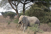 Elephant in east African habitat