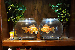 Fake gold fish in bowls in the Walled Off Hotel (owned by Bansky) near the wall of separation in Bethlehem. From a series of travel photos taken in Jerusalem and nearby areas. Photo date: Wednesday, August 1, 2018. Photo credit should read: Richard Gray/EMPICS