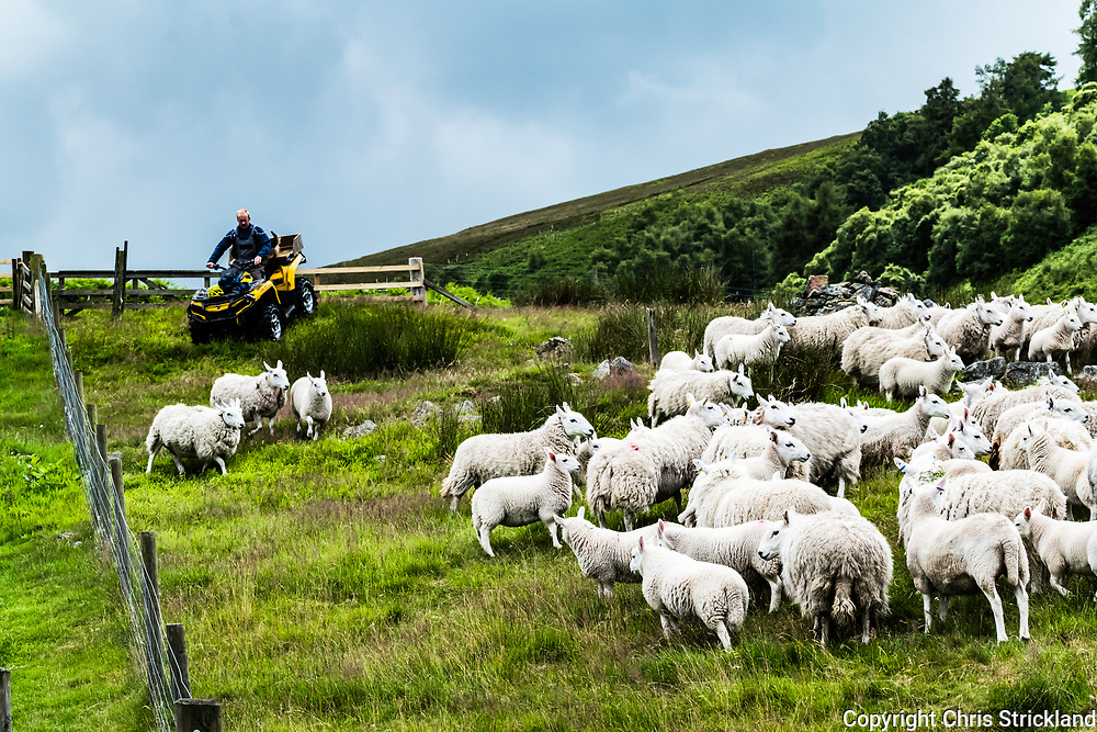 Heatherhope, Hownam, Kelso, Scottish Borders, UK. 11th July 2017. The Weir family clip their flock of Cheviot sheep on the hill farm of Heatherhope in the Cheviot Hills near the Anglo Scottish Border.