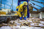Luke sorts the fish depending on species and size and fish that are too small are returned to the sea. Luke is a Folkestone based fisherman out trawling for a 12 hour night shift on a fishing trip in his boat Valentine FE20, Hythe Bay, the English Channel, United Kingdom.