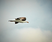Yellow-legged Gull. Image taken with a Nikon N1V2 camera and 10-100 mm lens.