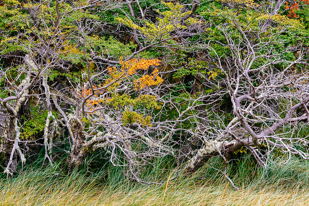 Fall colours on Southern beech along the banks of Lago Azul in Torres del Paine National Park, Patagonia, Chile.