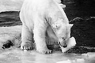 Schweden, SWE, Kolmarden, 2000: Eisbaer (Ursus maritimus) auf einer schmelzenden Eisschicht, spielt mit einem Eisbrocken, haelt das Eis mit einer Pranke an sein Gesicht, Kolmardens Djurpark. | Sweden, SWE, Kolmarden, 2000: Polar bear, Ursus maritimus, on a melting icefield, playing with a piece of ice, holding the ice piece with a paw at it's face, Kolmardens Djurpark. |