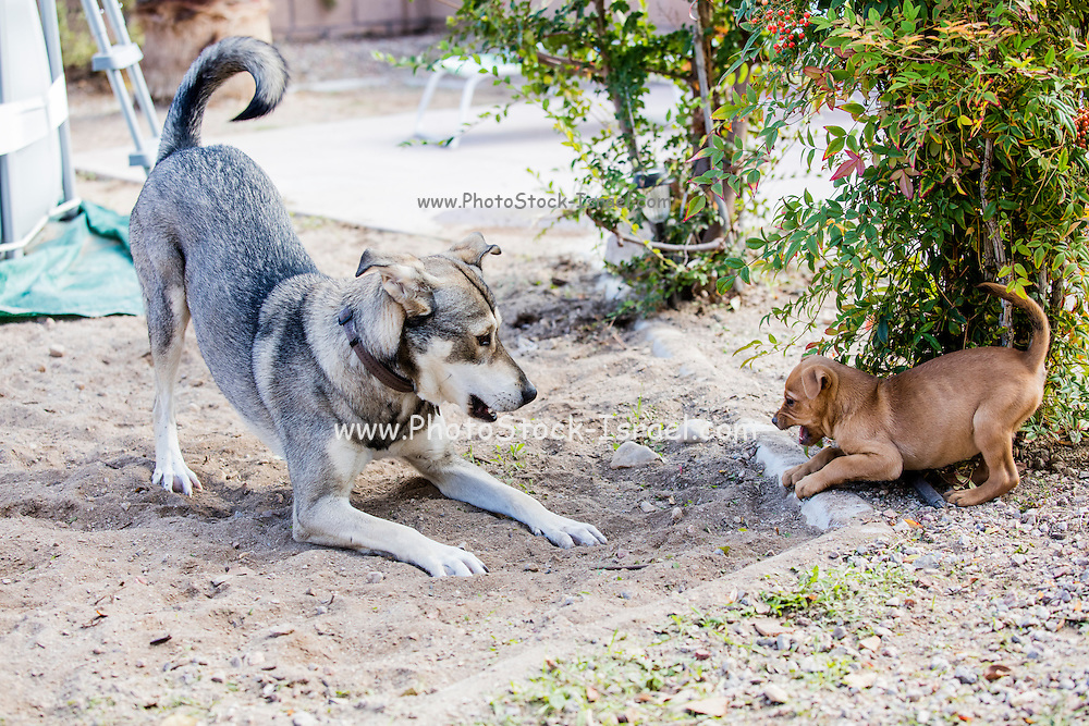 A mature dog and a puppy play in the yard