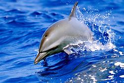 pantropical spotted dolphin calf, .Stenella attenuata, wake-riding, .Big Island, Hawaii (Pacific).