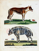 Canis family Wolf and striped Hyaena and cantharis insects Copper engraving with hand colouring from Encyclopaedia Londinensis, or, Universal dictionary of arts, sciences, and literature [miscellaneous plates] by Wilkes, John Publication date 1796-1829