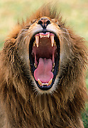 Image down the mouth of a yawning lion showing teeth, tongue and throat.