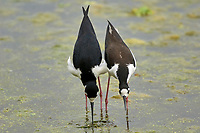 Black-necked Stilt (Himantopus mexicanus),  male and female in mating behaviour, Green Cay Nature Centre, Delray Beach, Florida,