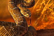 Photographing Rattlesnakes or any kind of snakes should always be approached with extreme caution. I only photograph wild and free animals and snakes and therefore take certain precautions to ensure my safety as well as theirs. Always remember Rattlesnakes are deadly.
