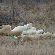 African Lions sleeping. Londolozi Private Game Reserve. South Africa.