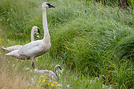 Photo Randy Vanderveen<br /> Grande Prairie, AB<br /> 2020-07-29<br /> A pair of trumpeter swans sit near the side of  Highway 733 watching over cygnets on the southern edge of Birch Hills County Wednesday. Swan cygnets develop a lot slower than Canada goose goslings which have already grown feathers and resemble their parents in colour.