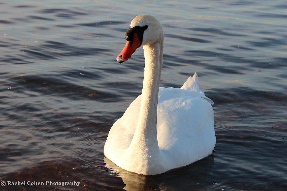 """""""One Swan a Swimming"""""""
