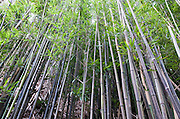A bamboo forest along the Manoa Cliff Trail on Oahu, Hawaii.