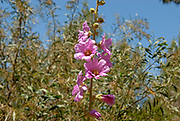 Selective focus image of a Bristly Hollyhock (Alcea setosa) Photographed in Israel in spring in May