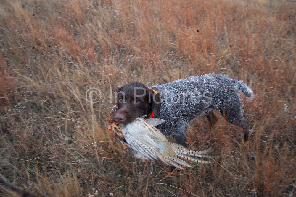 Pointer dog Max retrieves a pheasant while out on the North Dakota grasslands after hunting upland game birds with his owner Joel Baldwin, such as grouse. Max is a trained pointer. Working dogs work extremely hard both retrieving birds such as pheasant or grouse once shot, but also flushing birds out from the undergrowth.