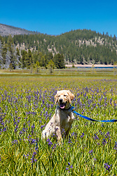 """""""Puppy in Sagehen Meadows 1"""" - Photograph of Golden Retriever puppy """"Quill"""" in the Camas wildflowers at Sagehen Meadows, a little north of Truckee, California."""