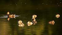 Female Wood Duck and Ducklings (Aix sponsa). Rocky Mountain National Park. Image taken with a Nikon D2xs camera and 80-400 mm VR  lens.