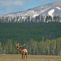 A bull Elk (Cervus canadensis) grazes in Elk Park Meadows in Yellowstone National Park.  Dome Mountain rises in the background.