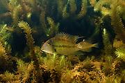 Demon Fish or Eartheater (Satanoperca leucosticta) in Aquatic Vegetation<br /> Wild in Permanant Freshwater Pond<br /> Savannah<br /> Rupununi<br /> GUYANA<br /> South America<br /> RANGE: Orinoco River Basin, Guianas & Lower Amazon River.