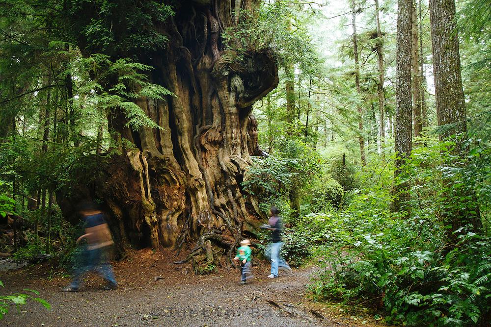Big cedar tree near Kalaloch Lodge in Olympic National Park, WA