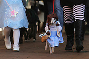 Dorothy, played by Rocko Henson, walks in the costume parade between Glinda the Good Witch of the North and The Wicked Witch of the West as part of the 4th Annual Doggie Howl-O-Ween event on the Downtown Mall Sunday afternoon.