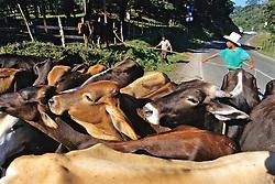 Men Working Cows