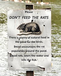 """© Licensed to London News Pictures. 14/07/2013. An unusual sign telling visitors """"Don't Feed The Rats"""" in a pond at Chislehurst Common in South East London. You would normally associate a trip to the local pond with feeding the ducks but at Prickend Pond on Chislehurst Common a problem with rats, worsened by the feeding of bread to ducks and geese, has become so serious that the local trust has taken to putting up signs in an attempts to solve the problem.<br /> Photo credit :Grant Falvey/LNP"""