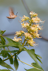 Hummingbird moth(White-lined sphynx) (Hyles lineata) on Texas Buckeye Tree (Aesculus glabra var. arguta) in flower, Texas Buckeye Trail, Great Trinity Forest, Dallas, Texas, USA.