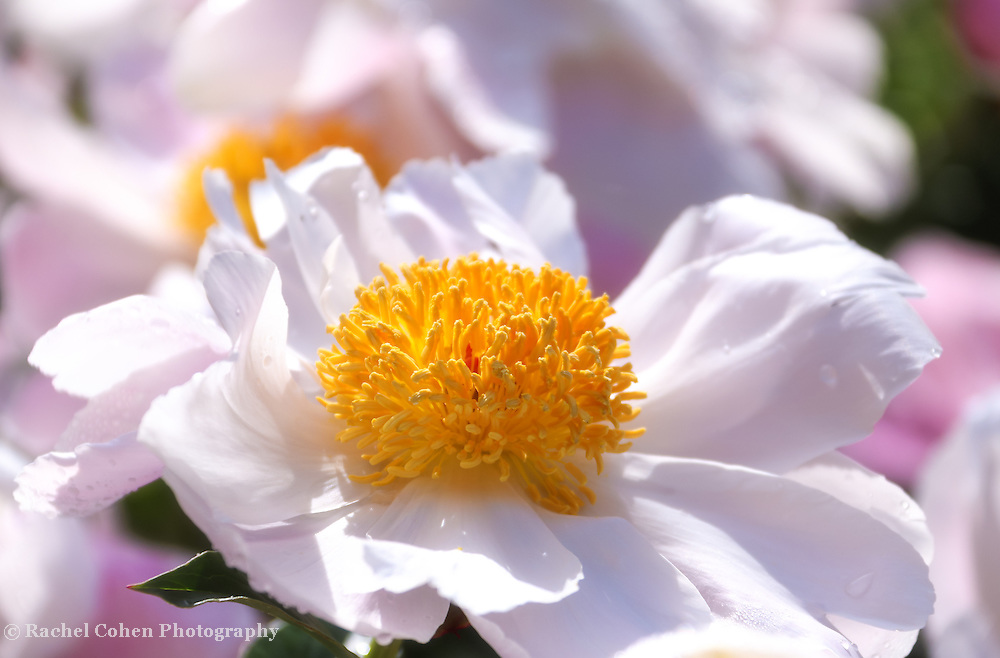 """""""Angelina""""<br /> <br /> Wonderful large white and pink peony blossoms with giant golden centers!"""