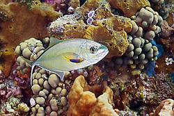 bar jack, Caranx ruber, juvenile, being cleaned by juvenile, Spanish hogfish, Bodianus rufus, West End, Grand Bahamas, Caribbean, Atlantic Ocean