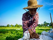 """21 NOVEMBER 2017 - MAUBIN, AYEYARWADY REGION, MYANMAR: A worker ties a sack of rice shut after it was threshed in the Ayeyarwady  Delta. Myanmar is the world's sixth largest rice producer and more than half of Myanmar's arable land is used for rice cultivation. The Ayeyarwady Delta is the most important rice growing region and is sometimes called """"Myanmar's Granary."""" The UN Food and Agriculture Organization (FAO) is predicting that the 2017 harvest will increase over 2016 and that exports will surge to 1.8 million tonnes.   PHOTO BY JACK KURTZ"""