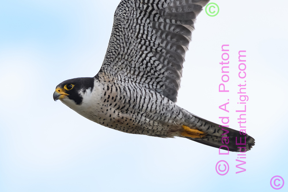 Peregrine falcon flying hard to gain altitude over prey, © David A. Ponton