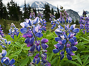 Lupine flowers in Spray Park, Mount Rainier National Park, Washington, USA. Lupinus is a genus in the pea family (also called the legume, bean, or pulse family, Latin name Fabaceae or Leguminosae).