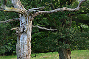 The nature reserve Tunhems Ekhagar is located at the foot of Hunneberg, and consists of a number of ancient oak trees. Tunhems Ekhagar, Schweden | Die Eichen auf den Viehweiden von Tunhem (Schweden) sind weltweit bekannt. Sie beherbergen vom Aussterben bedrohte Tier- und Flechten-Arten. Schon Carl von Linné besuchte 1746 das Gebiet und bezeichnete die Region als Paradies auf Erden. Im Alter bekommen Eichen Risse und werden Ausgehöhlt. Verstecke für viele Tiere. Auf das Totholz sind viele Insekten angewiesen, nur hier können sich die Larven entwickeln.
