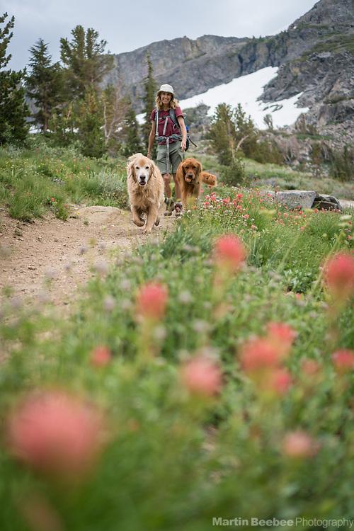 Woman hiking with dogs (golden retrievers) among wildflowers in the Sierra Nevada, Mokelumne Wilderness,  Eldorado National Forest, California